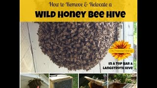 Remove and Relocate a Wild Honey Bee Hive!