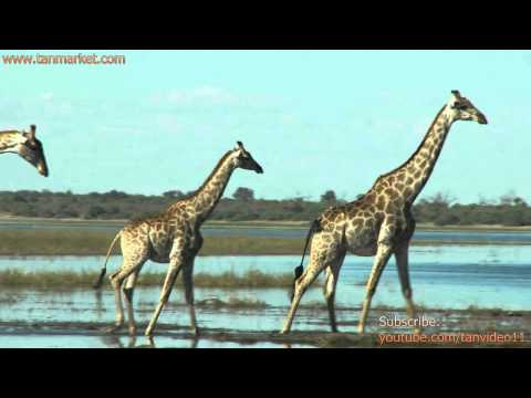 Three Giraffes - youtube.com/tanvideo11