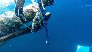 Running with the Bulls - Spearfishing Cobia