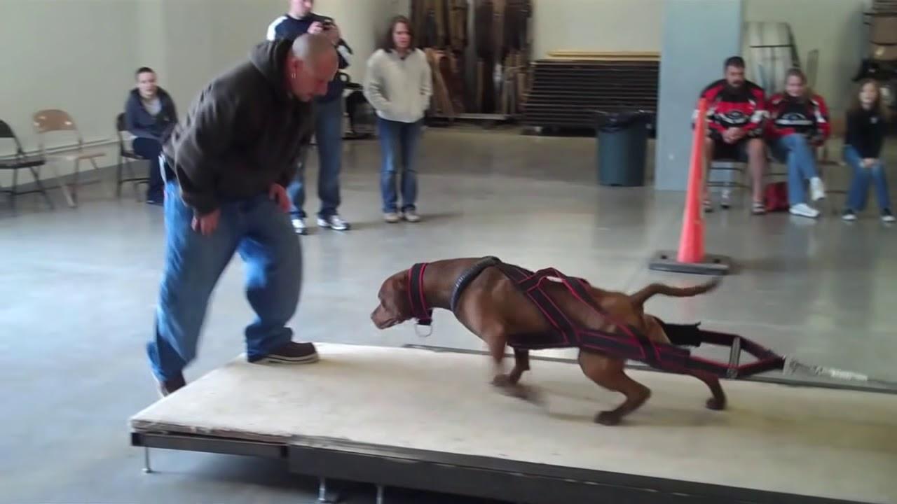 blue pitbulls on steroids
