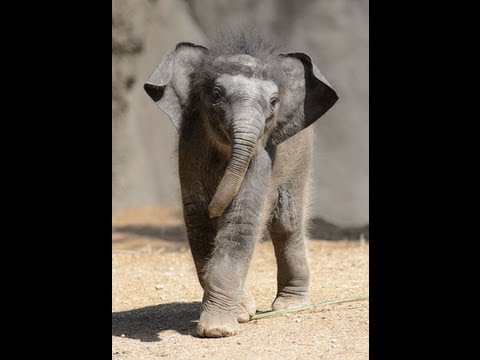 "Baby Asian elephant ""Priya"" debuts at Saint Louis Zoo"