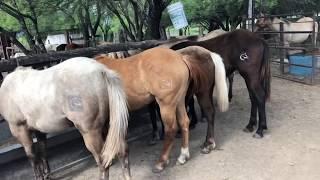 RANCHOLAROSA. POTRILLOS Y POTRANCAS 2018 EN EL CREEP FEEDER#CUARTODEMILLA