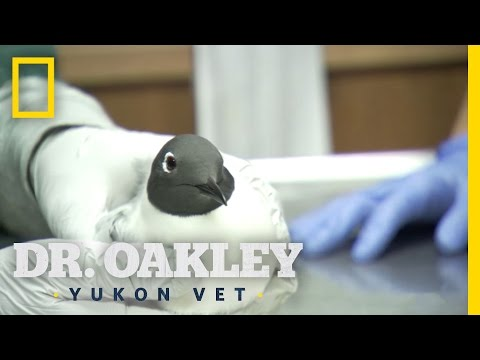 Gull With a Gunshot | Dr. Oakley, Yukon Vet: Deleted Scene