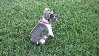 Miniature Schnauzers Sam and Lilly playing