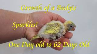 Growth of a Baby Budgie From Day 1 to 9 Weeks