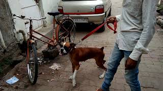 The Best Guard Dog (Boxer)
