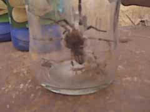 EBLANL peleas de alacranes y tarantula