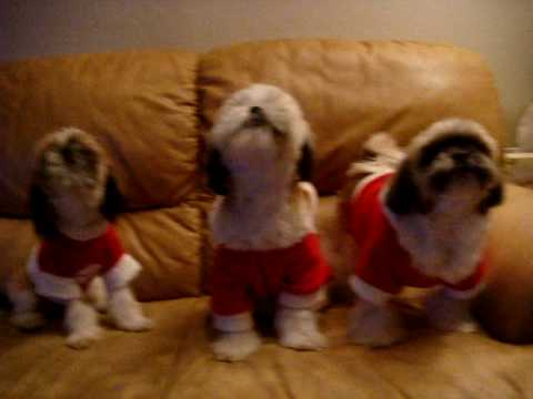 Shihtzu Christmas Carols