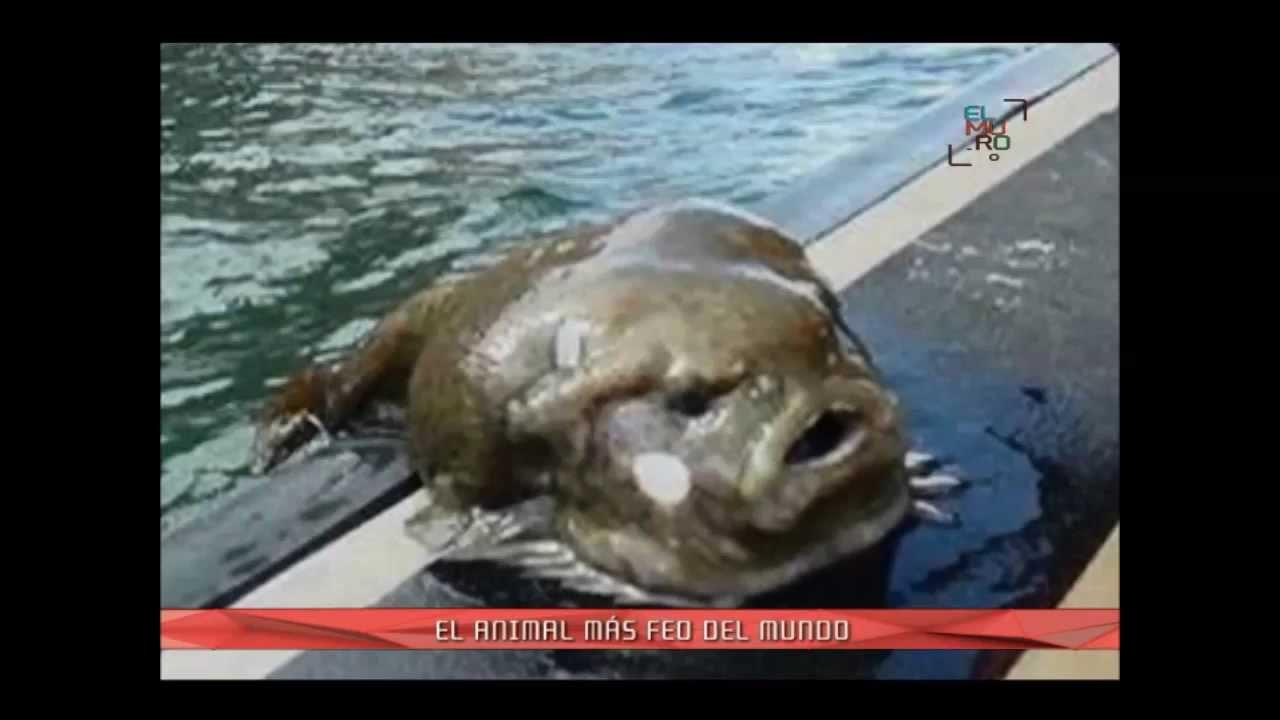 El Baño Mas Feo Del Mundo:Pez Borrón: declarado el animal más feo del mundo – YouTube