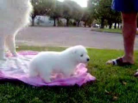 Cachorros de Samoyedo