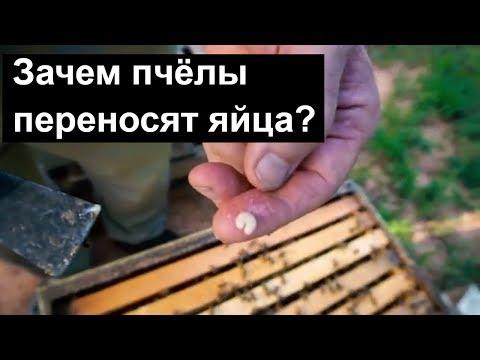 пчеловодство для начинающих - Зачем пчёлы переносят яйца? Вывелась поздняя матка. Пасека.