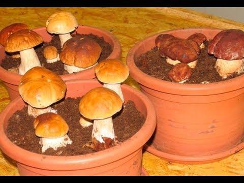 Как вырастить много белых грибов дома на подоконнике