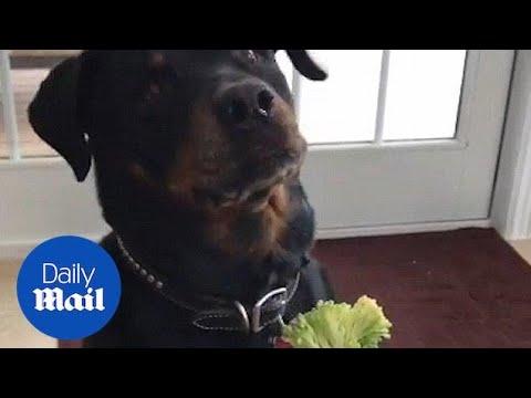 Dogs React To Magic Trick With Blanket 🔴 Perros Reaccionan Truco De Magia Con Manta