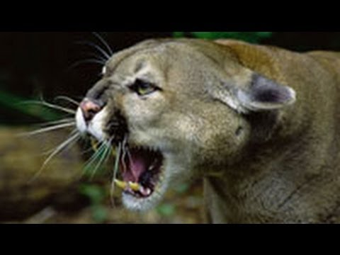 panthers vs mountain lions