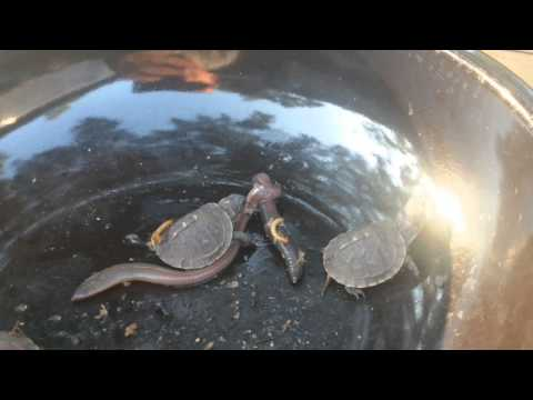 Baby Box Turtle vs Earth worm