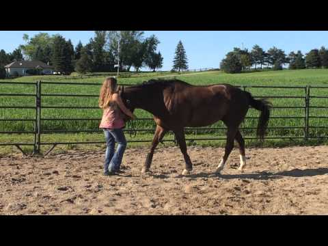 AQHA registered 7yr old gelding for sale- showman ship