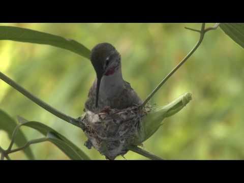 Hummingbird Building A Nest.mp4 video