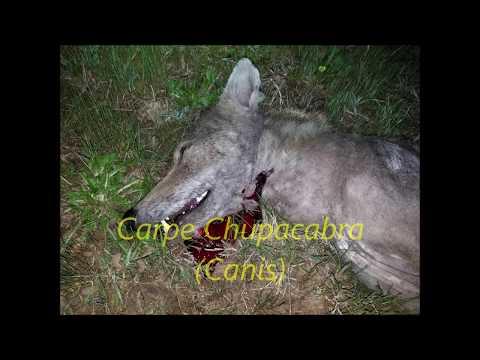 255 Yard Chupacabra Coyote