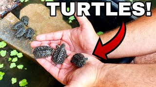 GIVING ENDANGERED BABY TURTLES THEIR DREAM HOME!