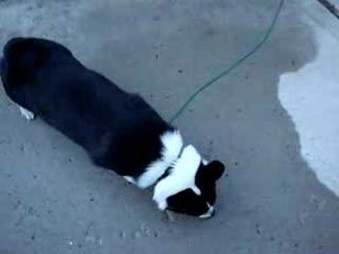 coco - pembroke welsh corgi - black and white