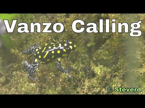 Poison Dart Frogs in HD. Ranitomeya vanzolinii calling and closeup