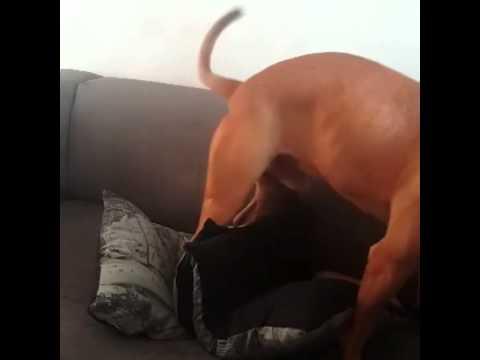 Pitbull Humping Pillow. Dog Porn video