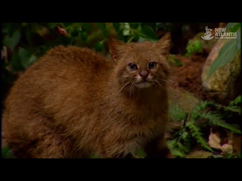 Amazonia: Land of Jaguars (full documentary)