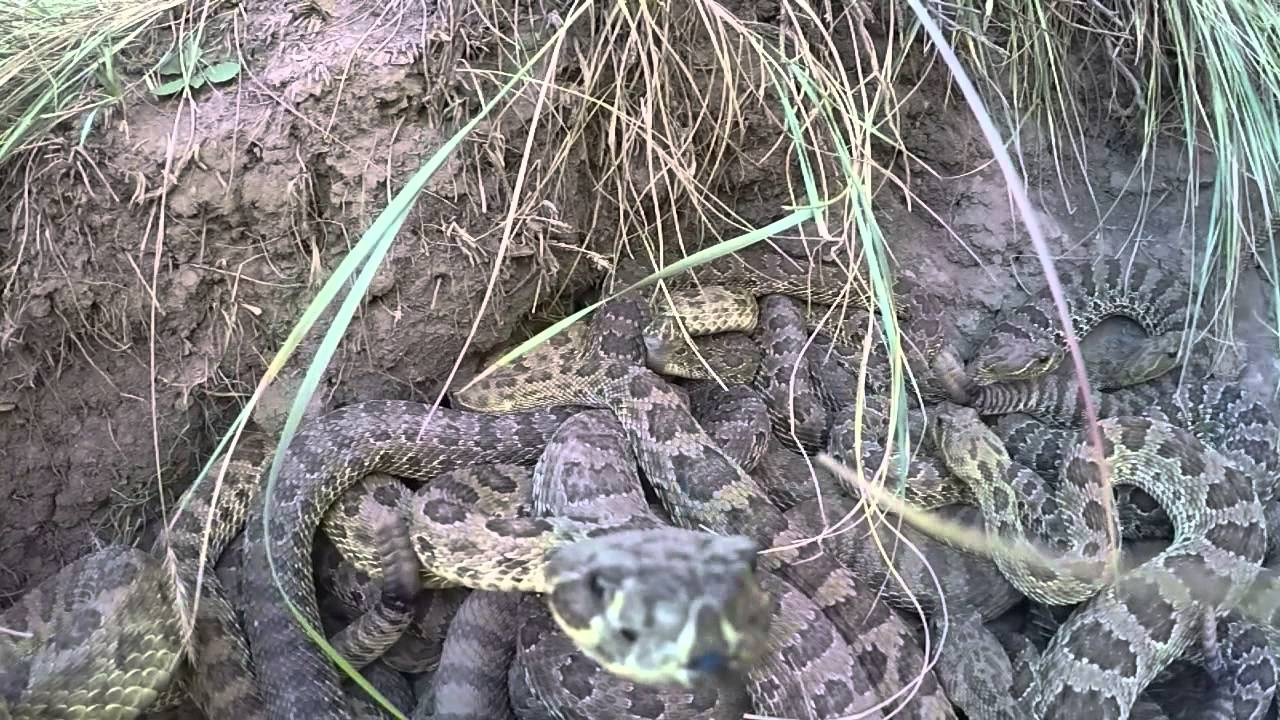 GoPro Struck By Angry Rattlesnake, Falls Into Terrifying Snake Pit