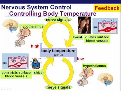 endocrine system part 3 youtube