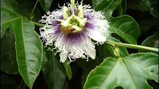 Growing Passion Fruit in pots in San Diego