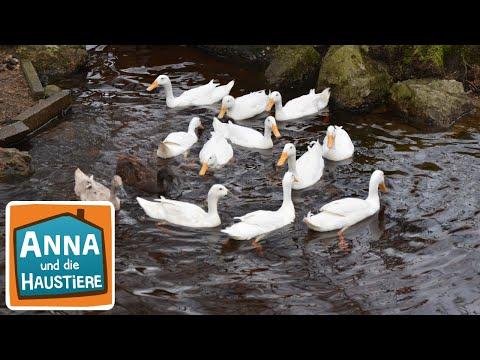 Laufenten | Information für Kinder | Anna und die Haustiere