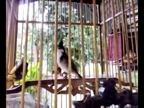 Chim Chào Mào video