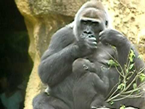 上野動物園のニシローランドゴリラの親子-34