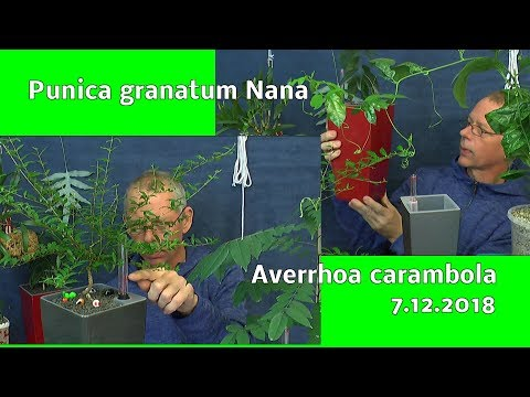 Granatapfel und Sternfrucht Baum Die weitere Pflege der Exoten im Haus 7.12.2018