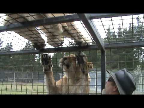 Hand Feeding Lions at Orana Wildlife Park Christchurch