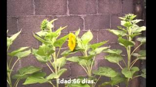 Flor de girasol para corte en jardín