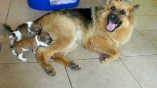 Orphaned Jack Russell Pups and German Shepherd Dog