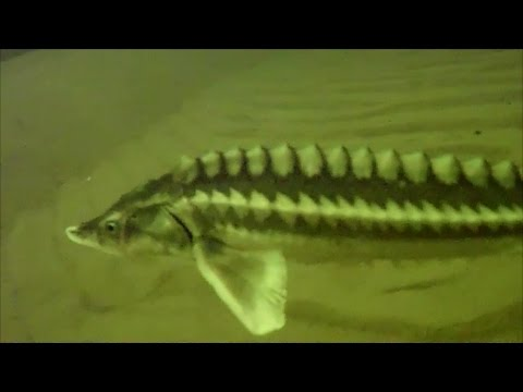 видео подводная охота на осетра