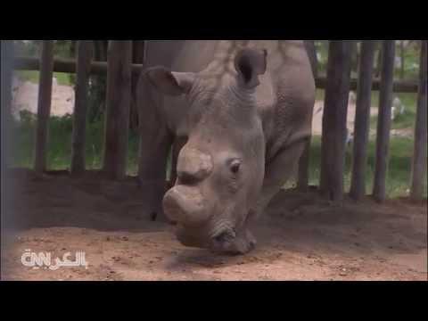 لقطات نادرة لذكر وحيد القرن الأخير من فصيلته على الأرض
