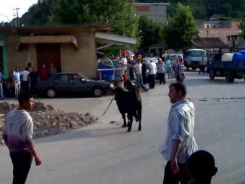 TORO EL ANCER JIJEL ALGERIA ثور هائج بمنطقة العنصر جيجل الجزائر