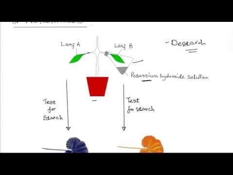 Form 1 Biology | Nutrition | Necessity of carbon (iv) oxide in photosynthesis.