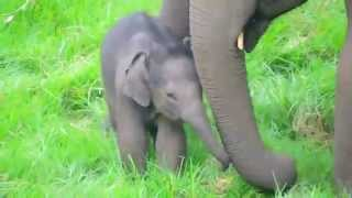 Wild Baby Elephant Funny Playing And Sleeping