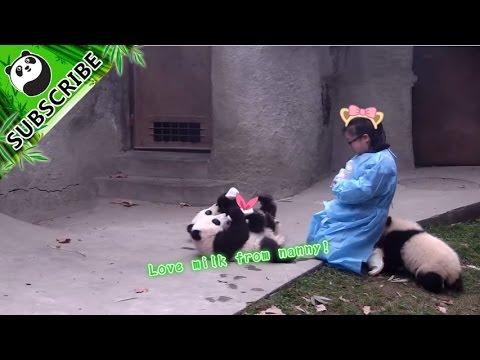 Keeper feeding panda cubs bottled milk Part 1