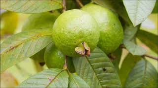 Hair Benefits Of Guava Leaves- Hair Care Tips