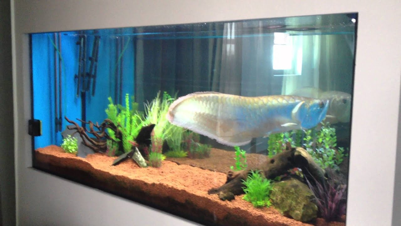 Giant arowana and stingray in 1000 l tank youtube for Arowana tank decoration