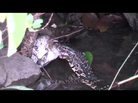 Amazing Catch Of A Fish By A Water Monitor