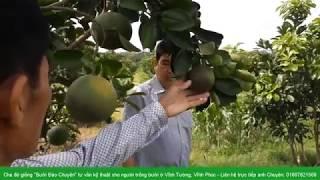 Cách phòng trừ nhện và nấm chống nhám cho trái bưởi - Anh Chuyên: 01687821568
