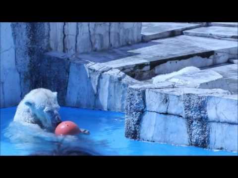 ホッキョクグマ 円山動物園 ララの赤ちゃん ボール遊び 20110430