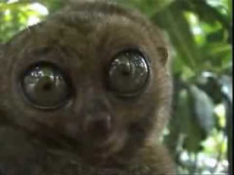Dramatic Wagner Lemur Video