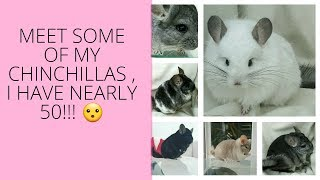 Meet some of my chinchillas I  have nearly 50 !!